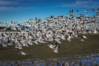 SnowGeese-4334