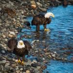 """Eagles-5131"" by CaptureLife"