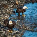 """Eagles-5131"" by CaptureLife"