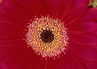 Red Gerber Daisy Floral