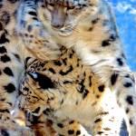 """Mama Snow   Leopard"" by frankreggio"