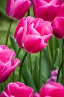 Beautiful pink tulips at a green garden of Istanbu