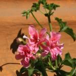 """""""Pink Flowers in a Garden"""" by rhamm"""