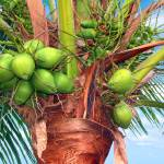"""Coconut Palm Treasure Coast Florida C1"" by Ricardos"