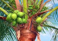 Coconut Palm Treasure Coast Florida C1