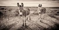 Chaco's Burros #2 by Marcus Panek