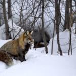 """""""Foxy Winter Coat"""" by RHMiller"""