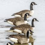 """Canada Geese"" by WildAboutNaturePhotography"