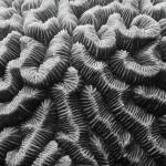 """Brain Coral Details Black and White"" by RoupenBaker"