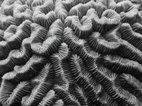 Brain Coral Details Black and White