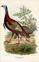 Wild Turkey Illustration