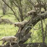 """Cheetah Cubs in Tree"" by SederquistPhotography"