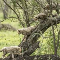 Cheetah Cubs in Tree Art Prints & Posters by Betty Sederquist