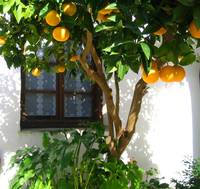 skiathos orange tree