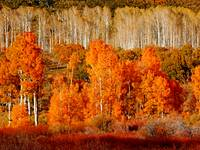 Two Rows of Aspen