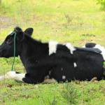 """Holstein Cow Lying in a Pasture"" by rhamm"
