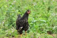 Black Chicken in a Field