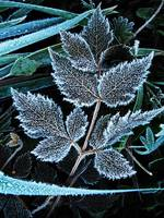 Frozen leaf of an astilbe