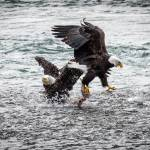 """Eagles-5723"" by CaptureLife"