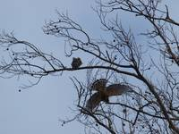 A Red Shouldered Hawk Impresses His Mate