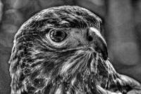 Red-tailed Hawk black/white
