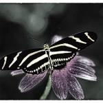 """ZEBRA BUTTERFLY B&W COLOR"" by frankreggio"