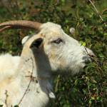 """White Goat in a Pasture"" by rhamm"