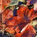 """""""Leaves at Cave Run Lake KY"""" by BrendaSalyersArt"""