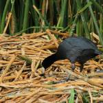 """Andean Coot on Reeds"" by rhamm"