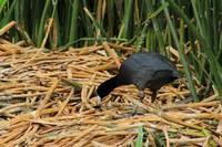 Andean Coot on Reeds