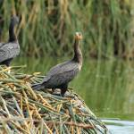 """Neotropical Cormorants Next to a Lake"" by rhamm"