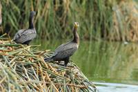 Neotropical Cormorants Next to a Lake