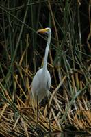 Great Egret Next to a Lake