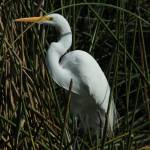 """Great Egret in a Lake"" by rhamm"