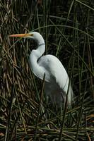 Great Egret in a Lake