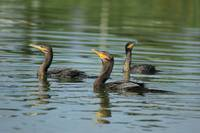 Neotropical Cormorants Swimming