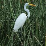 """Great Egret in Reeds"" by rhamm"