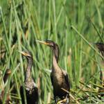 """Neotropical Cormorants on Reeds"" by rhamm"