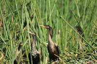 Neotropical Cormorants on Reeds