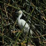 """""""Snowy Egret in Reeds in a Lake"""" by rhamm"""