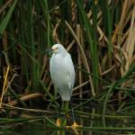 """Snowy Egret in Shallow Water"" by rhamm"
