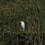 """Snowy Egret in Reeds"" by rhamm"