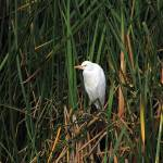 """Snowy Egret Among Reeds"" by rhamm"