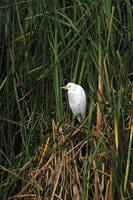 Snowy Egret Among Reeds