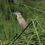 """Striated Heron and Aquatic Plants"" by rhamm"