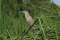 Striated Heron and Aquatic Plants