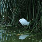 """Snowy Egret Reflected in Water"" by rhamm"