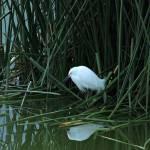 """Snowy Egret Reflected in Water"" by rhamm"