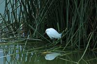 Snowy Egret Reflected in Water