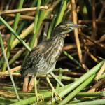 """Striated Heron in Reeds"" by rhamm"